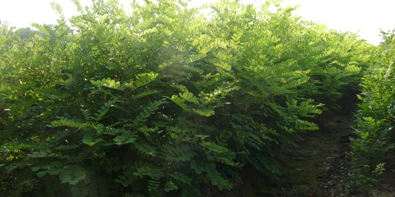 Robinia Pyramidalis 06